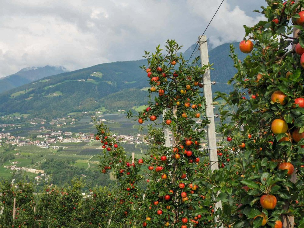 Apples on trees and mountains in distance