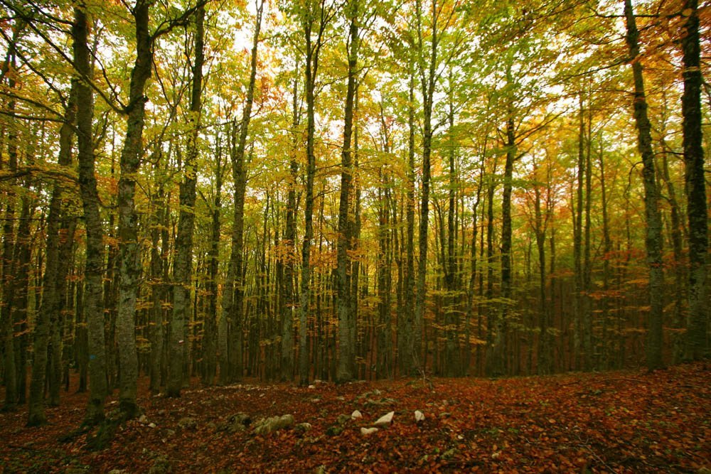Autumn colours in a beech forest