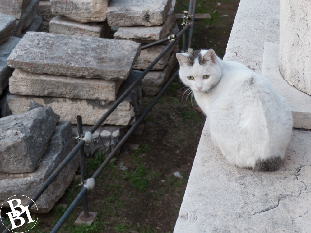 A white cat sitting by the Roman ruins