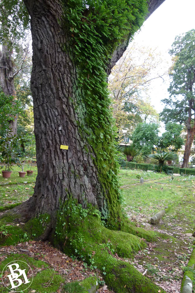Oak tree with other plants climbing up its trunk