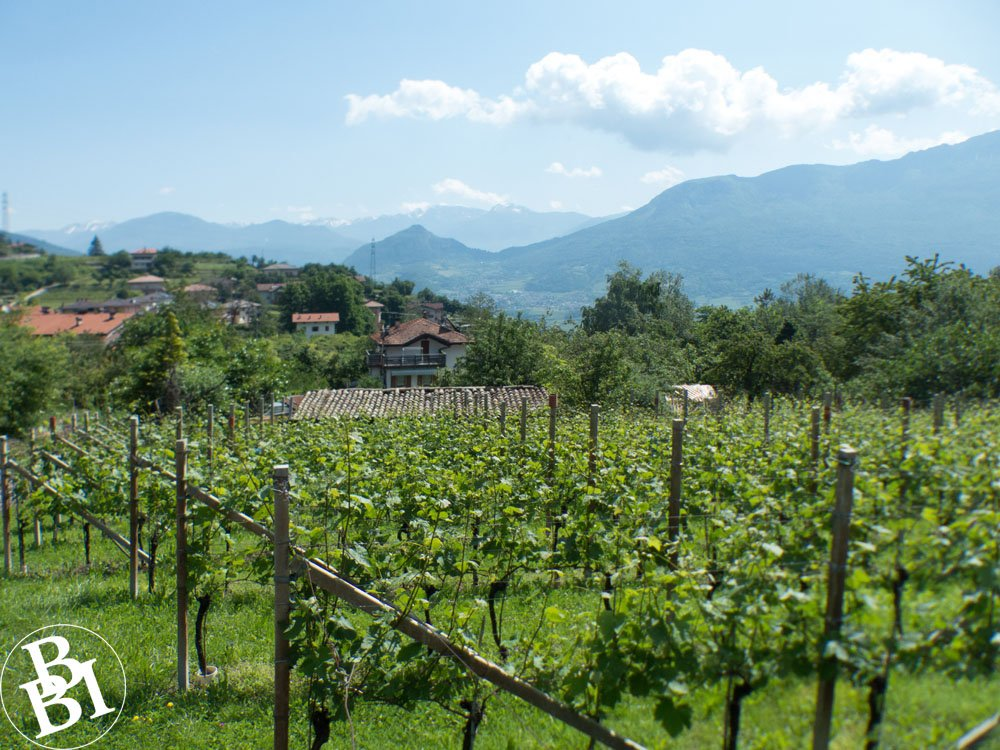 Vineyard with houses and mountains in distance