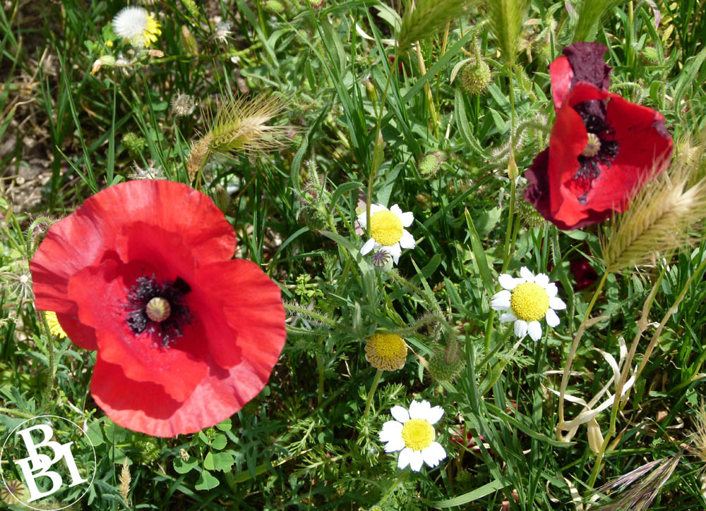 Wild flowers including poppies and daisies